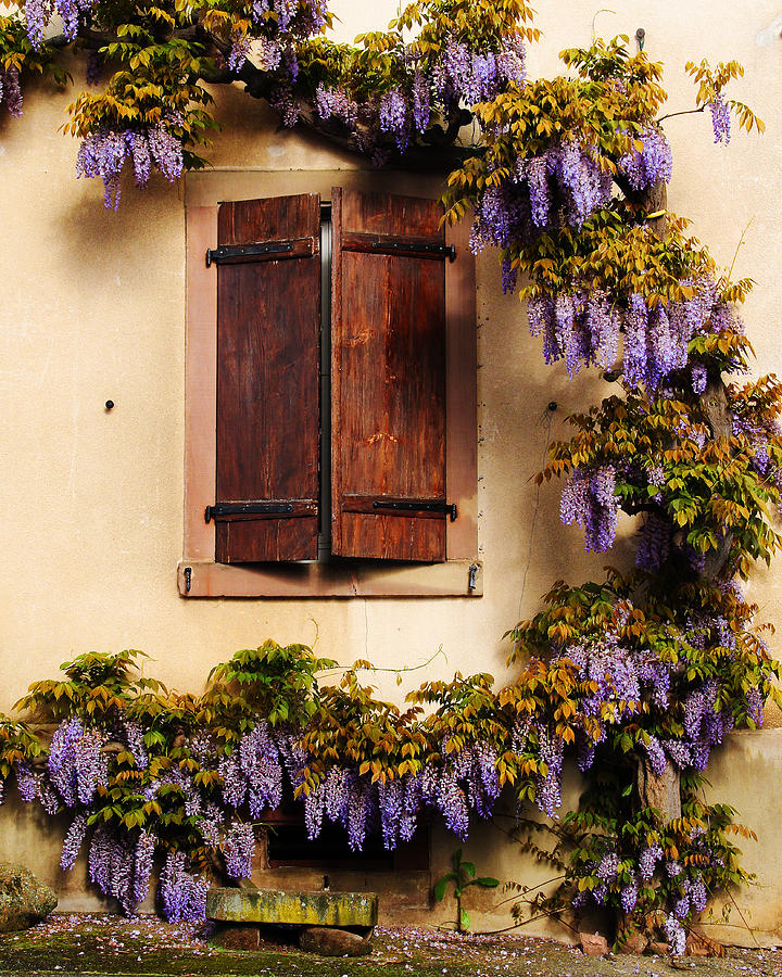 Wisteria Photograph - Wisteria Encircling Shutters In Riquewihr France by Greg Matchick