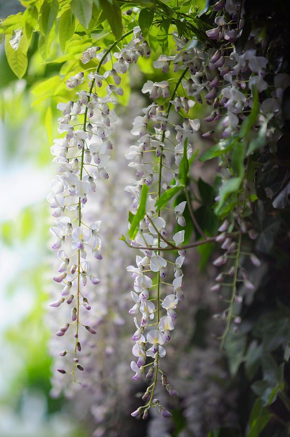 Wisteria Garden White Wisteria Photograph By Jenny Rainbow