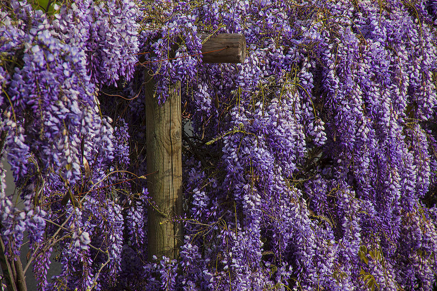 Wisteria Photograph - Wisteria by Garry Gay