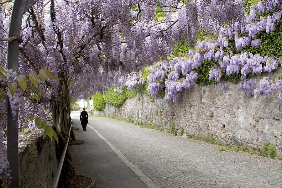 Woman Photograph - Wisteria Lane by Colleen Williams