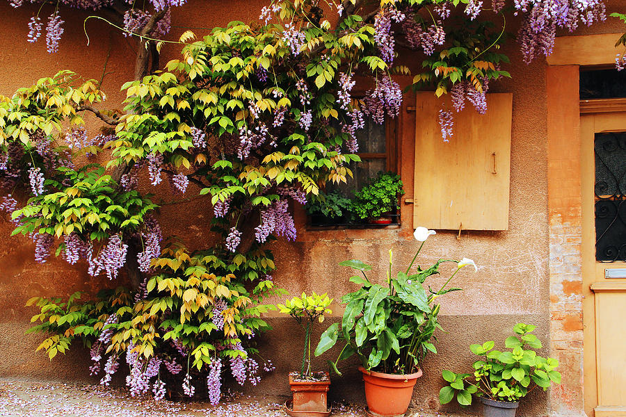 Wisteria Photograph - Wisteria On Home In Zellenberg France by Greg Matchick