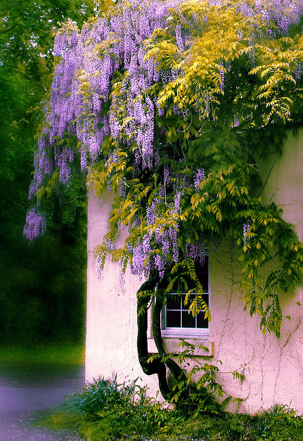 Wisteria Tree Photograph By Jessica Jenney