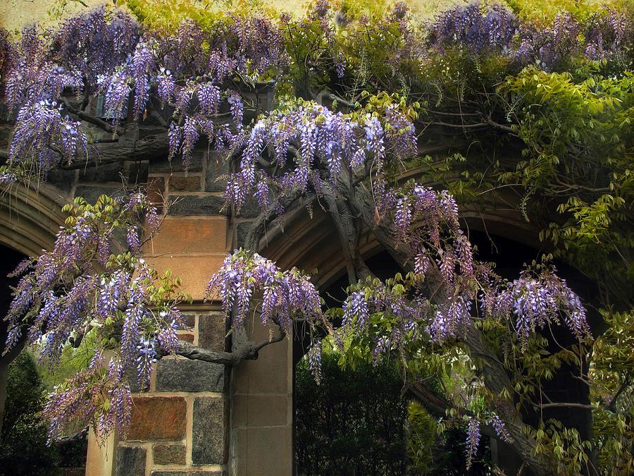 Spring Photograph - Wisteria Vine by Jessica Jenney