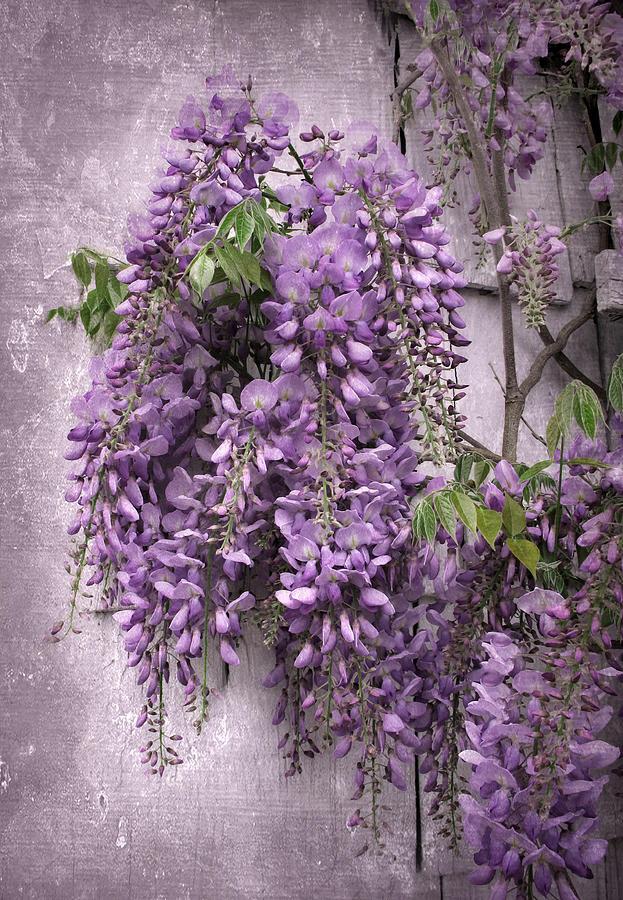 Flowers Photograph - Wistful Wisteria by Jessica Jenney