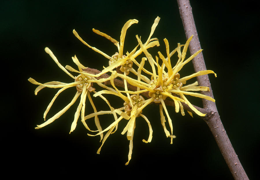 Witch Hazel Hamamelis Virginiana Photograph By Jeffrey Lepore