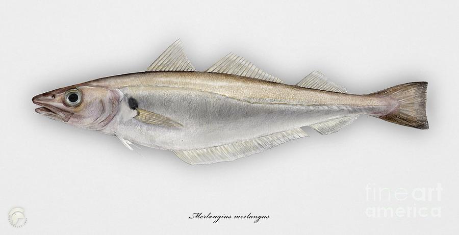 Withing Merlangius Merlangus - Merlan - Merlano - Hvitting - Cod Like Fish - Seafood Art Painting