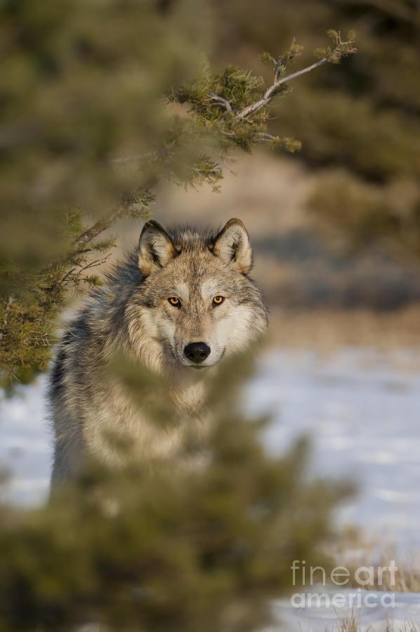 Wolf-animals-image-9 Photograph