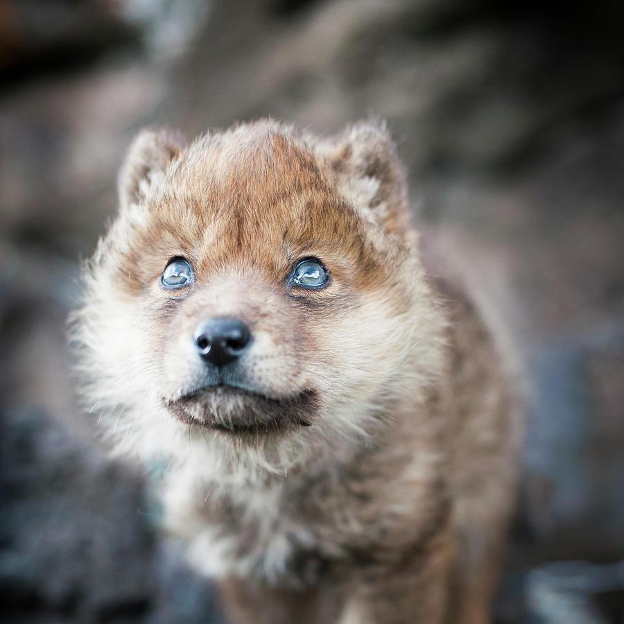 Wolf Baby By Jeanlouis Wertz