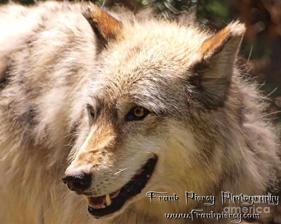 Timber Photograph - Wolf Close Up by Frank Piercy