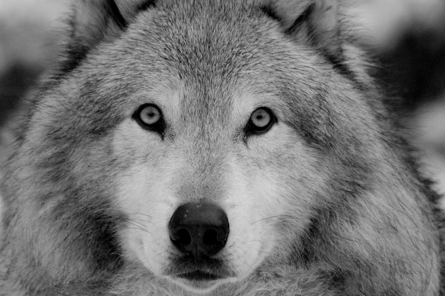 Black And White Photography Dog Eye
