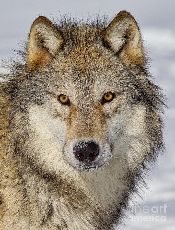Wolf Face To Face Photograph By Jerry Fornarotto
