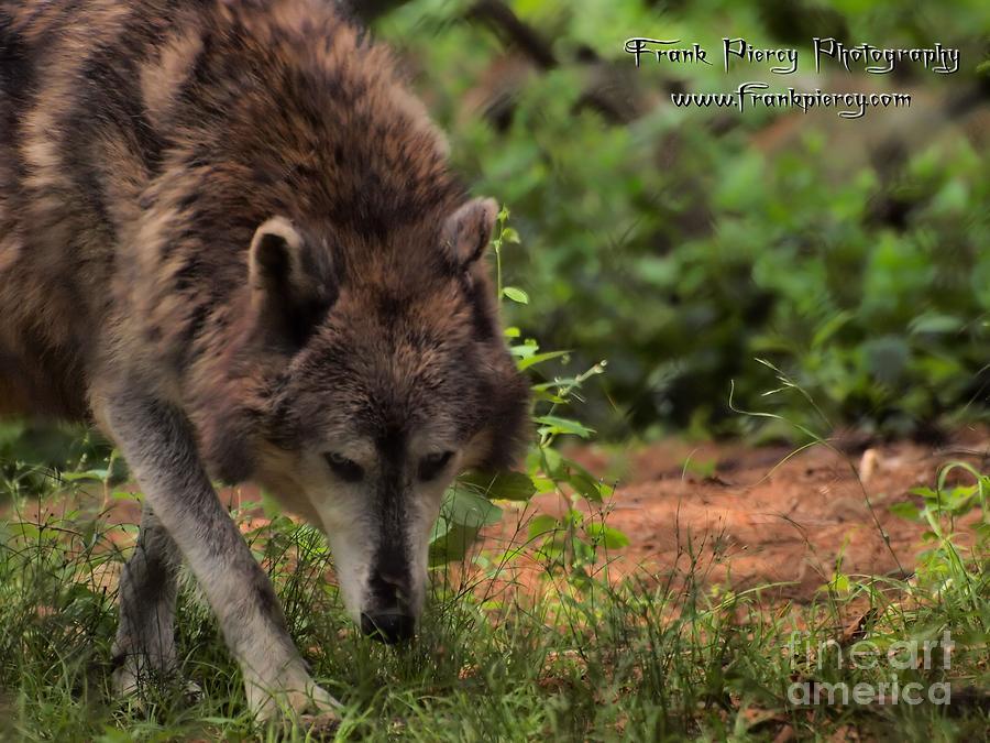 Grey Wolf Photograph - Wolf by Frank Piercy