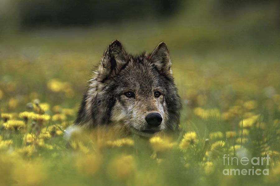 Wolf In Dandelions Photograph