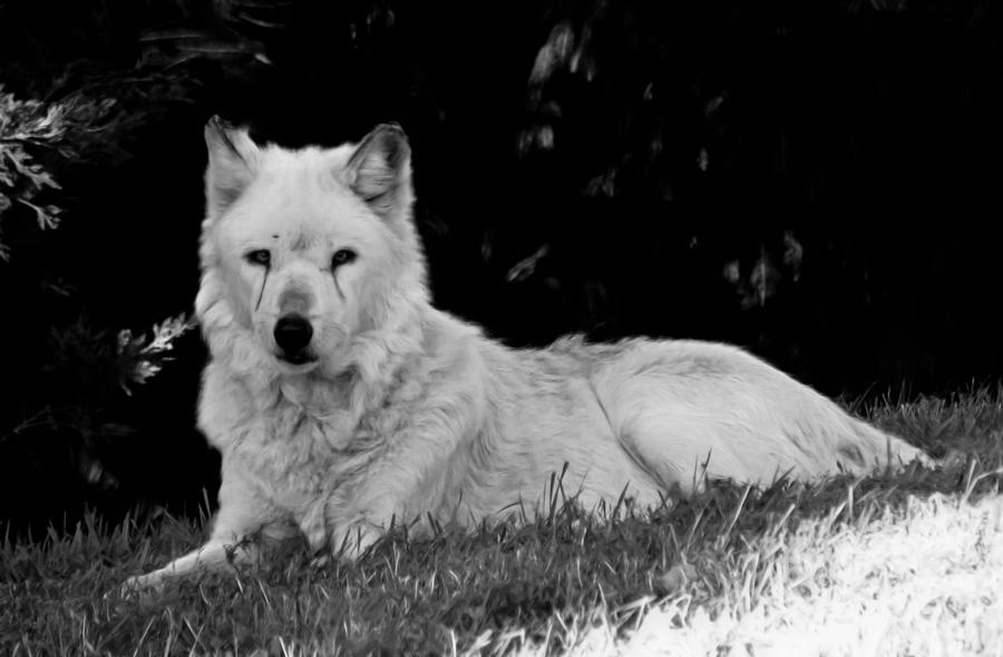 Canine Photograph - Wolf In The Zoo by Victoria Sheldon