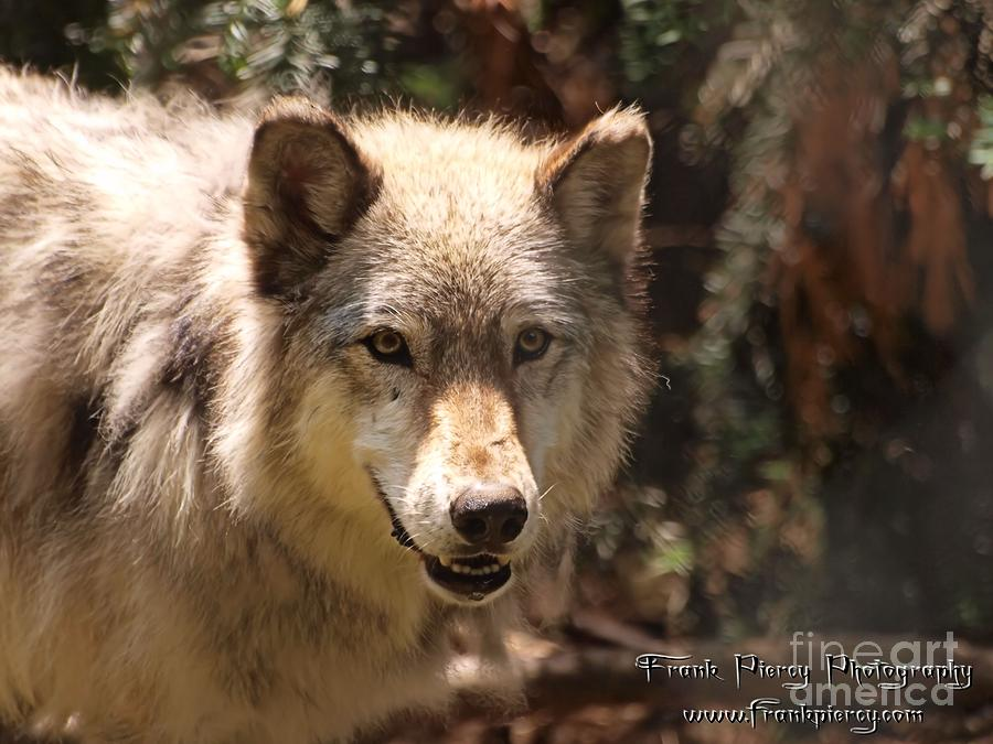 Grey Photograph - Wolf Intently by Frank Piercy