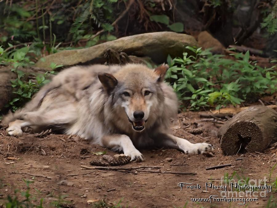 Timber Photograph - Wolf Resting by Frank Piercy