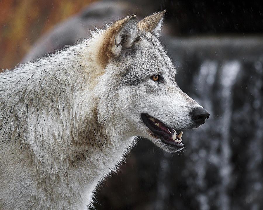 петарды радостный волк картинки вид немного пугающий