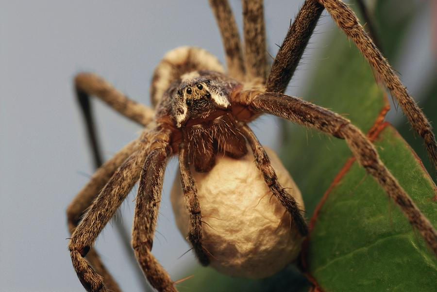 Wolf Spider Photograph - Wolf Spider by Clouds Hill Imaging Ltd/science Photo Library