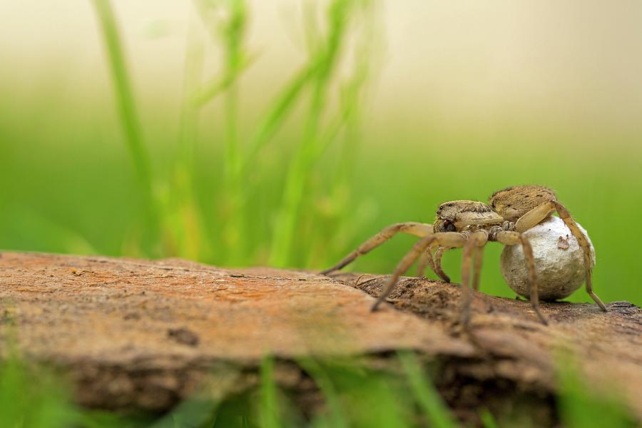 Animal Photograph - Wolf Spider (family Lycosidae) by Photostock-israel/science Photo Library