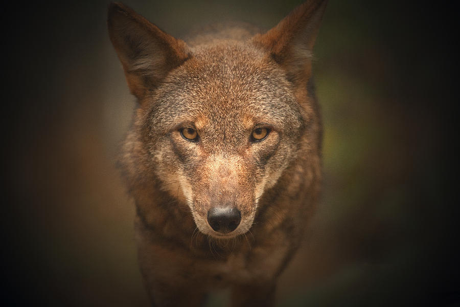 Wolf Photograph - Wolf Stare by Karol Livote