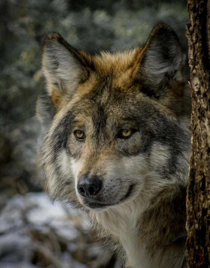 Wolf Photograph - Wolf Upclose 2 by Ernie Echols