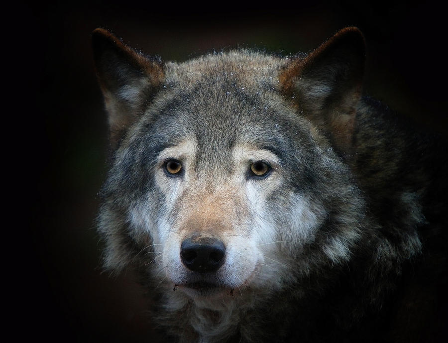 Animal Photograph - Wolf by Vladimir Meshkov
