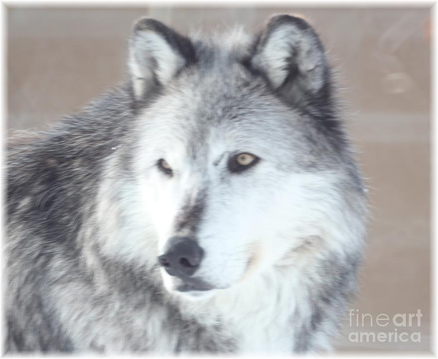 Wolves Photograph - Wolve 1 by Brenda Henley