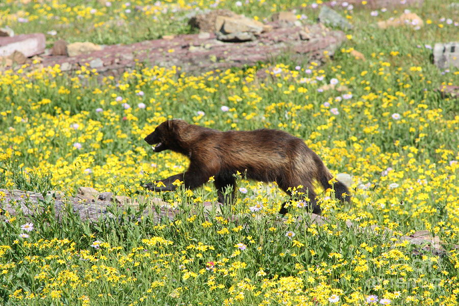 Gnp Photograph - Wolverine by Dave Knoll