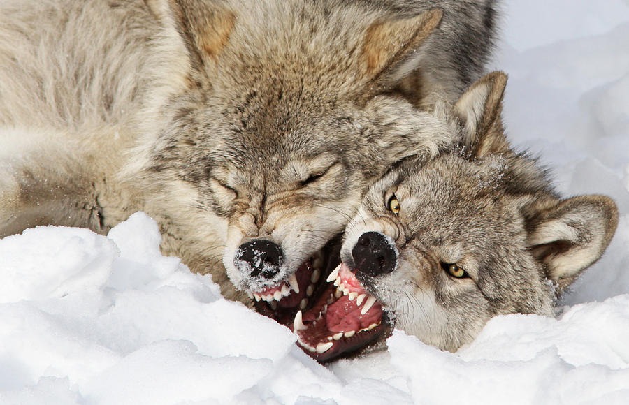 Wolf Photograph - Wolves Rules by Mircea Costina Photography