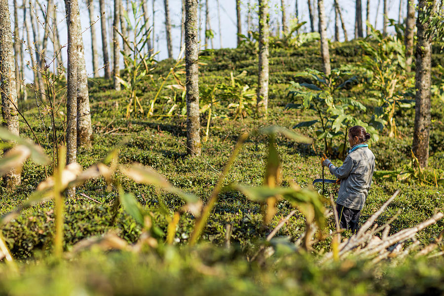 Woman Cutting Bush On Tea Plantation Photograph by Merten Snijders