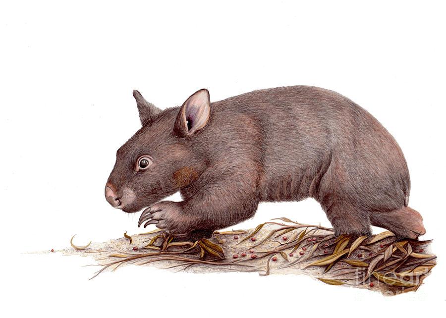 Wombat Drawing - Wombat Walk by Susan Pope