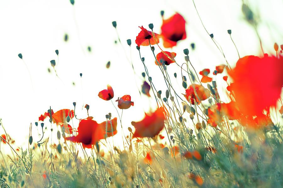 Wonderful Weightless Red Corn Poppies Photograph by Alexxx1981