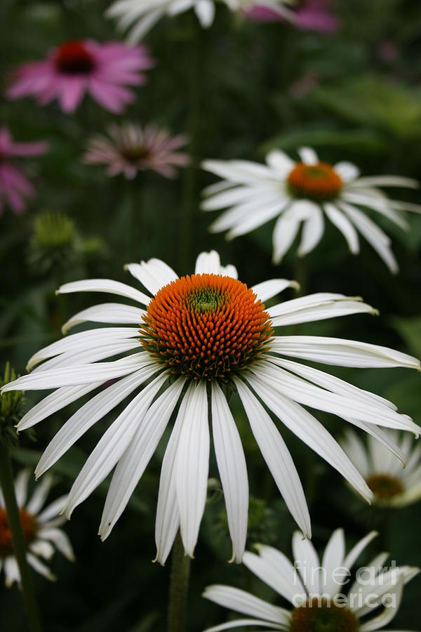 Flowers Photograph - Wonderful White Cone Flower by Kathy DesJardins