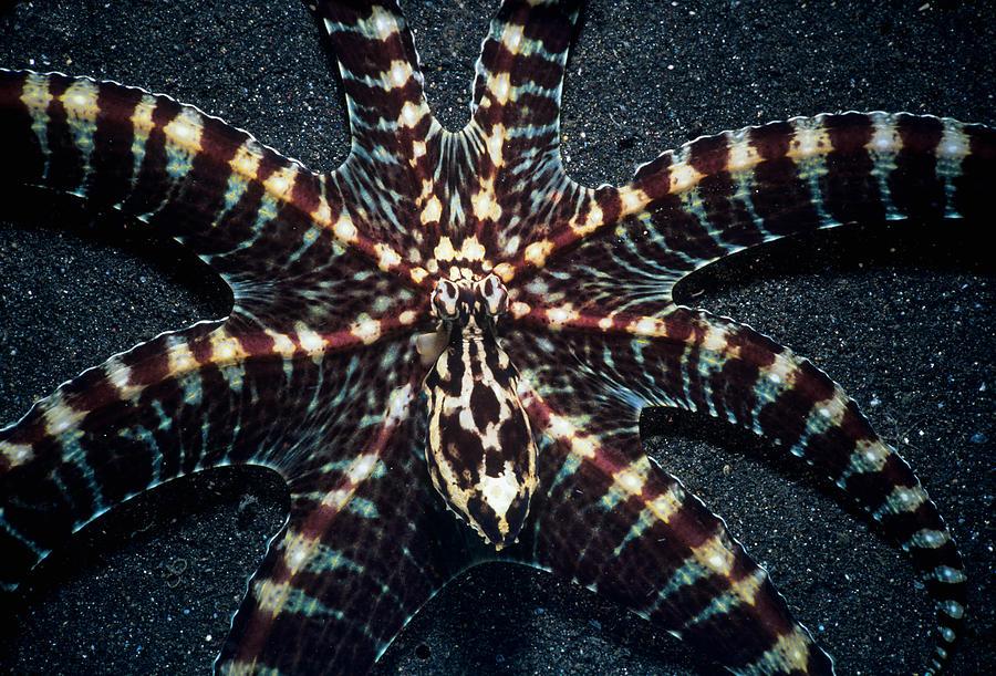 Underwater Photograph - Wonderpus Octopus by Jeff Rotman