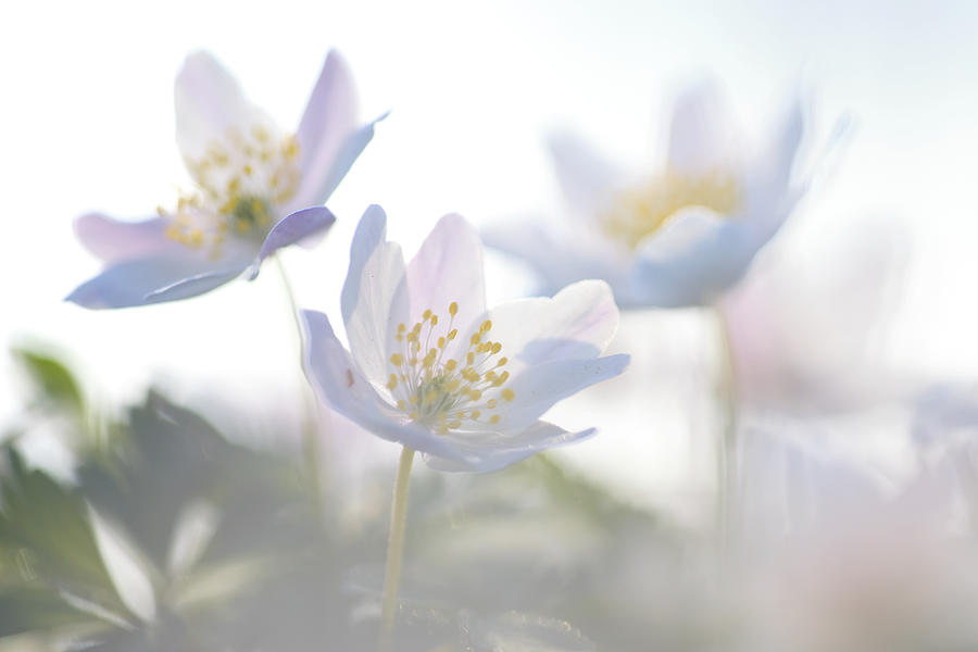 Abstract Photograph - Wood Anemone Flowers Netherlands by Heike Odermatt
