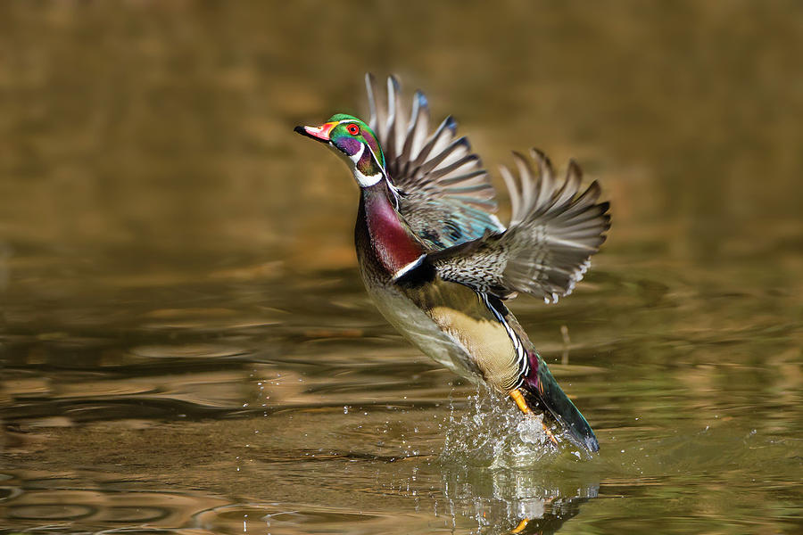 Aix Sponsa Photograph - Wood Duck (aix Sponsa by Larry Ditto