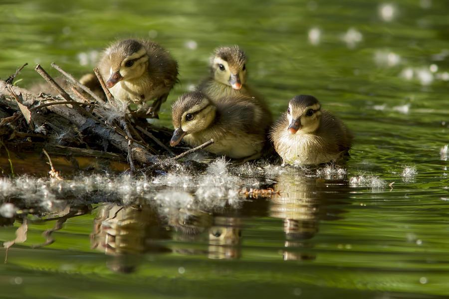 Babies Photograph - Wood Duck Babies by Mircea Costina Photography