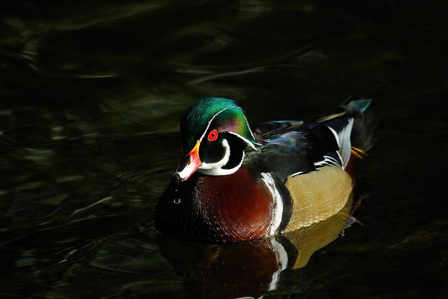 Drakes Photograph - Wood Duck Drip by Steve McKinzie