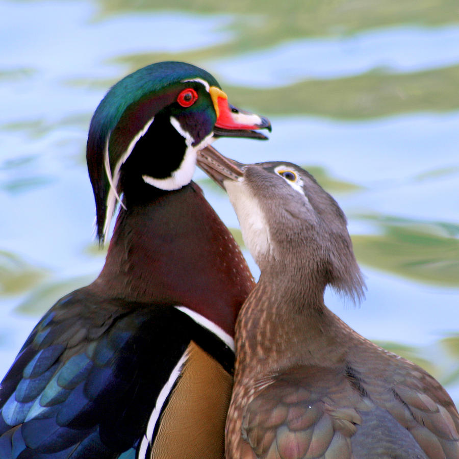 Wood Duck Photograph - Wood Duck Love by Bob and Jan Shriner