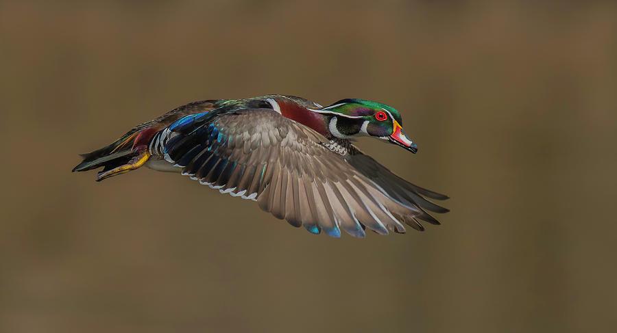 Duck Photograph - Wood Duck-male In-flight by Salman A
