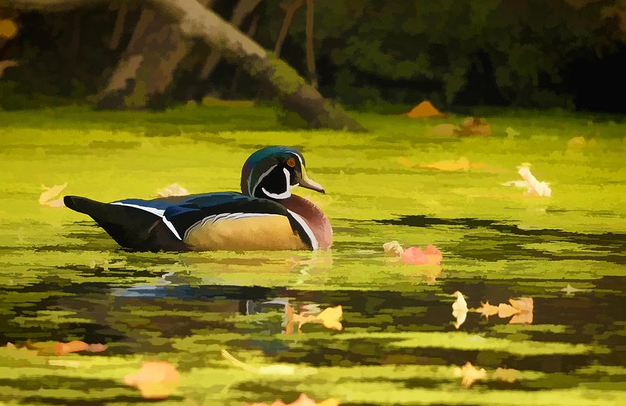 Wood Duck on Pond    by William Jobes