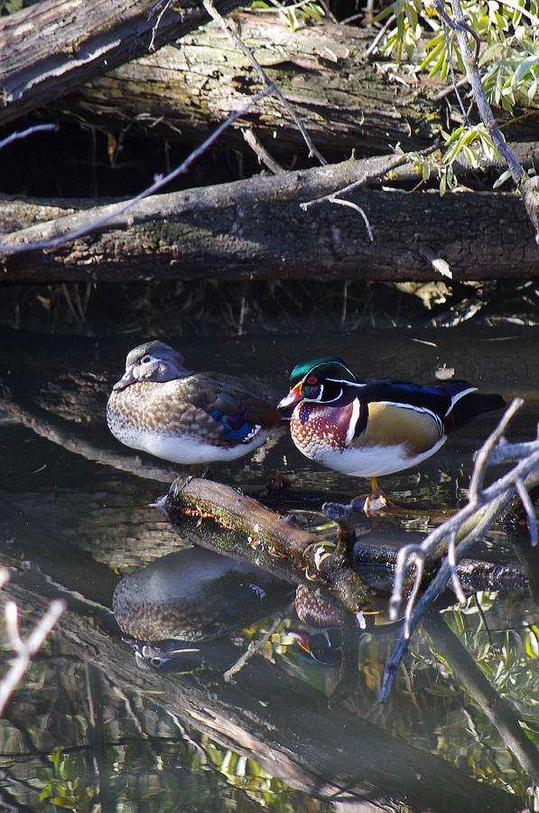 Wood Ducks Photograph - Wood Duck Reflections by Mike and Sharon Mathews
