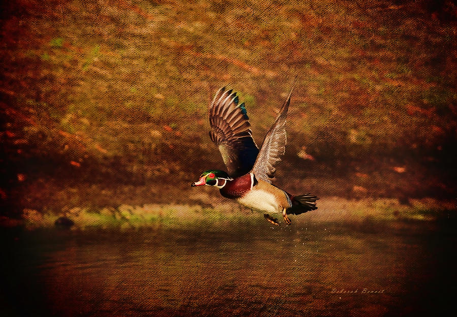 Wood Duck Photograph - Wood Duck Taking Off by Deborah Benoit
