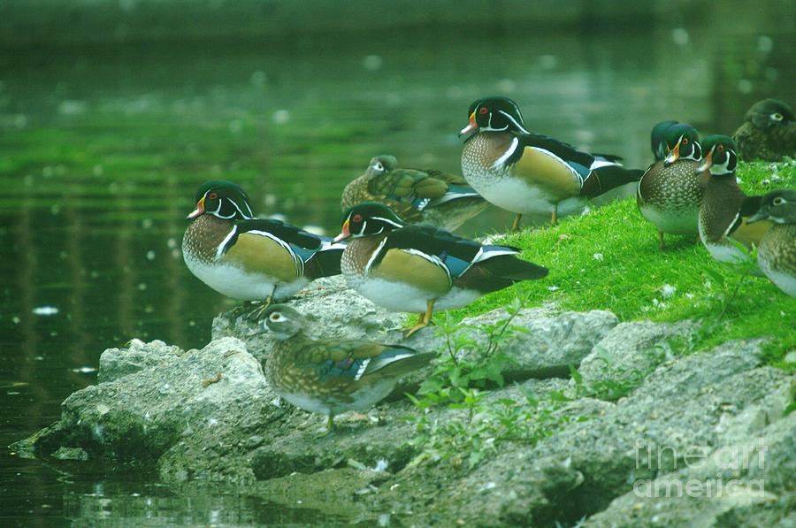 Birds Photograph - Wood Ducks Hanging Out by Jeff Swan