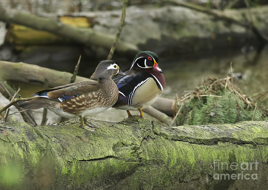 Wood Ducks  - Wood Ducks On Log 4 by Sharon Talson
