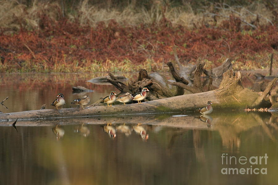 Wood Ducks Photograph - Wood Ducks On Log by Russell Christie