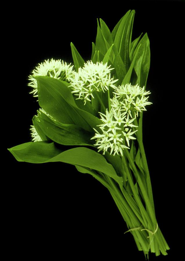Herbal Medicine Photograph - Wood Garlic Plants by Th Foto-werbung/science Photo Library