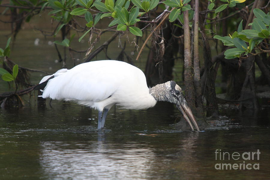 Wood Stork Photograph - Wood Stork In The Swamp by Christiane Schulze Art And Photography