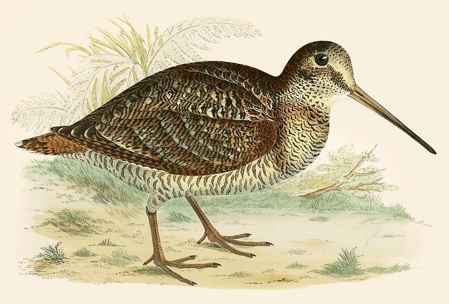 Birds Painting - Woodcock by Beverley R Morris