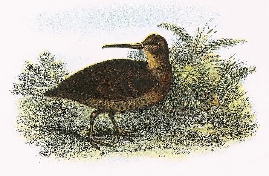 British Birds Photograph - Woodcock by English School